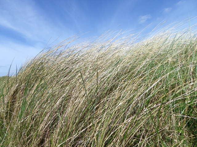 Marram grass, Hauxley