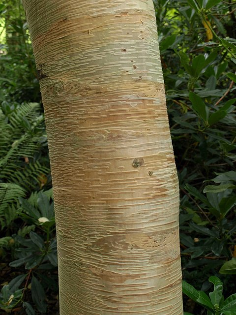 Birch trunk, Knightshayes Court