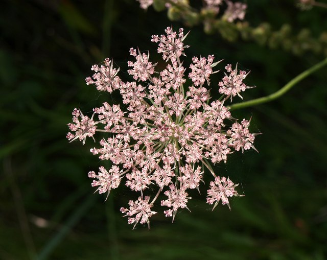 Wild carrot in flower
