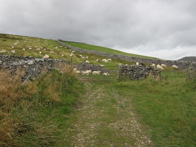 Sheep alongside Moor Head Lane