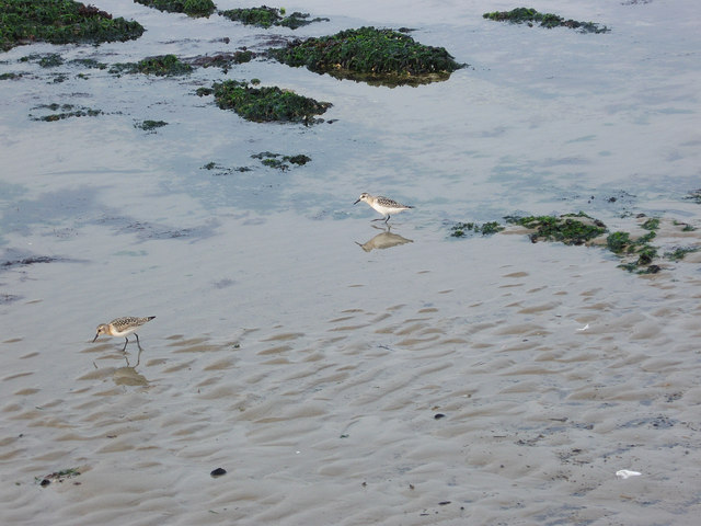 Sandpipers, Black Rock Beach