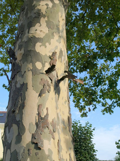 Plane tree, Thurlow Road, Torquay