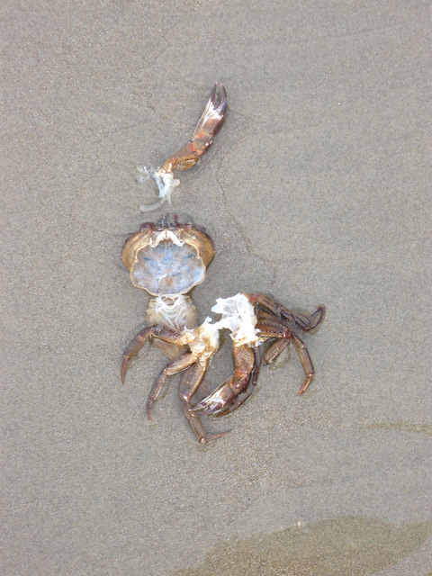 Cleaned Out Crab