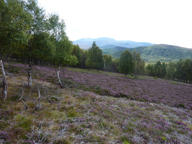 Birch woods in the heather moorland above Monaltrie farm