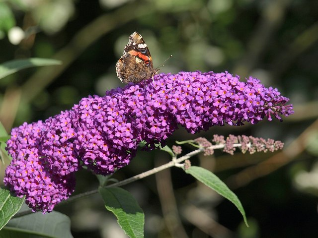 Butterfly on Buddleia, Trago Mills