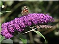 SX8274 : Butterfly on Buddleia, Trago Mills by Derek Harper