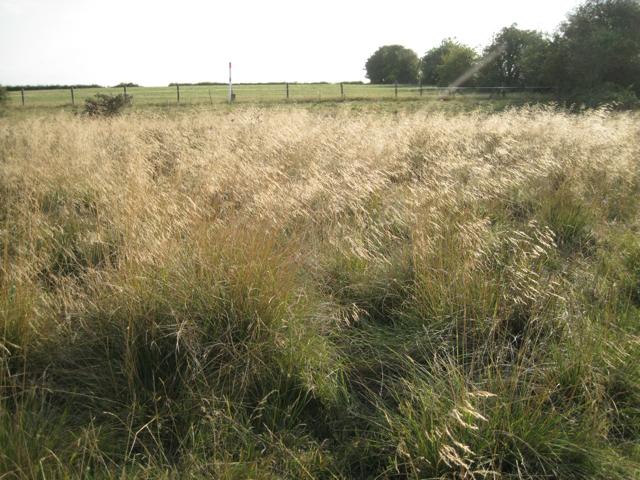 Tussock-grass near Marsh Farm