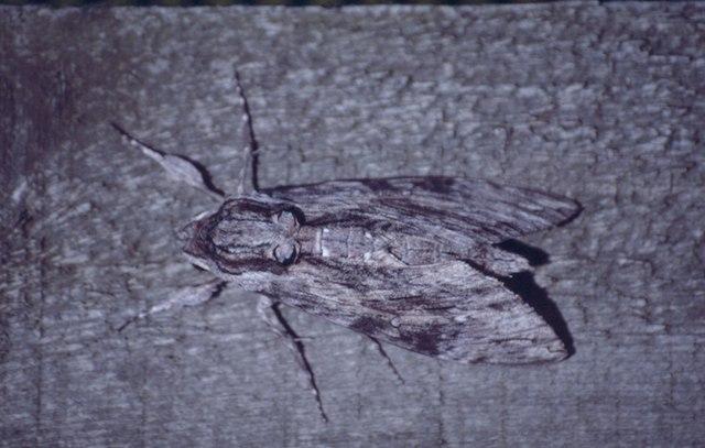 Convolvulus Hawkmoth (Agrius convolvuli), Baltasound