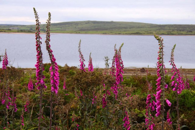 Foxgloves by Colliford Lake
