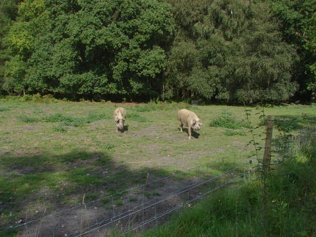 Pigfields, Merrist Wood