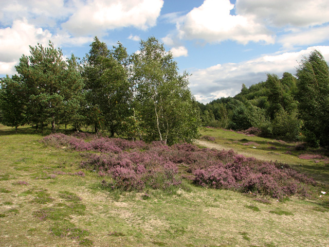 Heather and birch trees, Bawsey Country Park