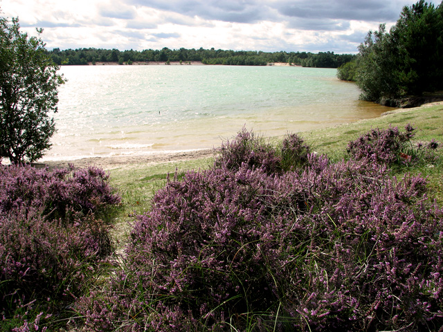 Heather above the lake, Bawsey Country Park