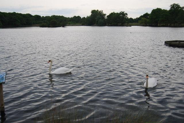 Swans, Pen Ponds