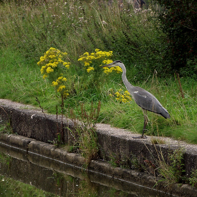 Grey Heron near Elworth, Cheshire