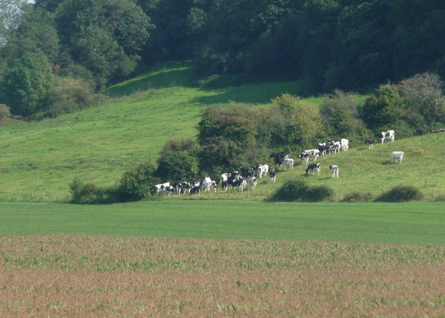 South Somerset : Cows Grazing