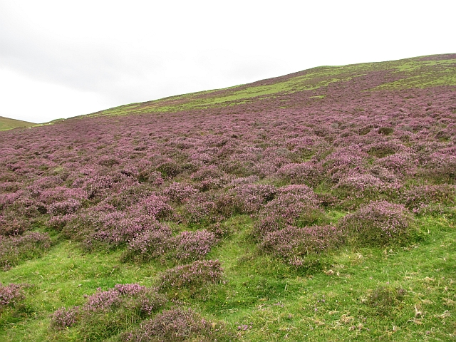 Heather on Forside Hill