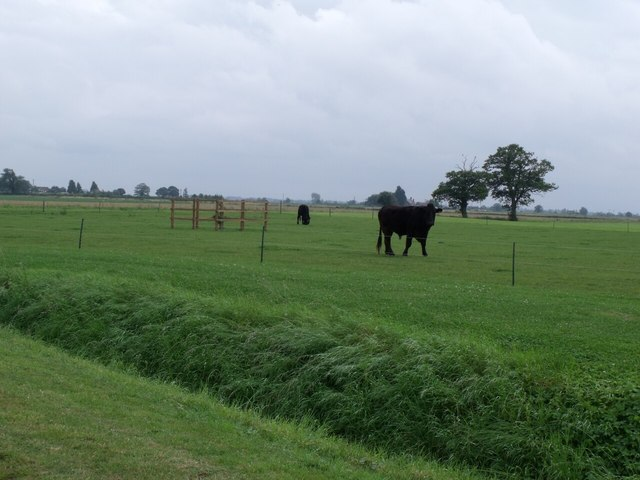 Cows in Field off Birkwood Lane
