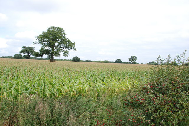 A Field of Maize on the side of the A5
