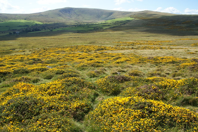 Gorse below Carn Siân