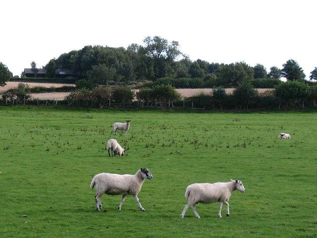 Sheep pastures, Newton le Willows