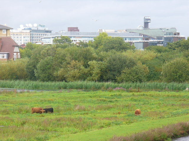 Highland Cattle at the Wetlands
