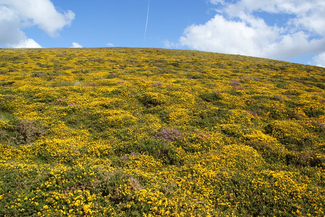 Gorse on the side of Carn Siân