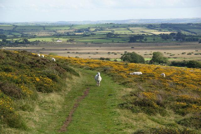Sheep on the path to Dan-y-garn