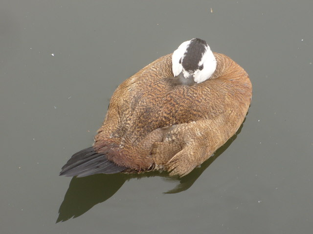 White Headed Duck, Barnes