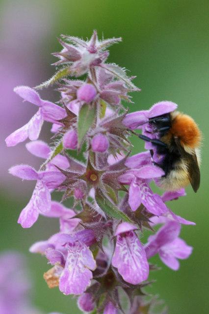 Shetland Bumblebee (Bombus muscorum agricolae), Norwick