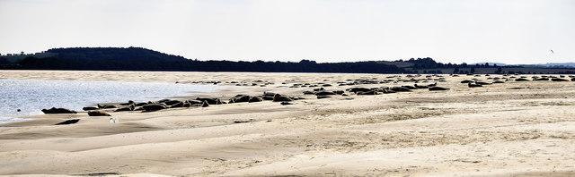 Seals, Warham Hole, Stiffkey