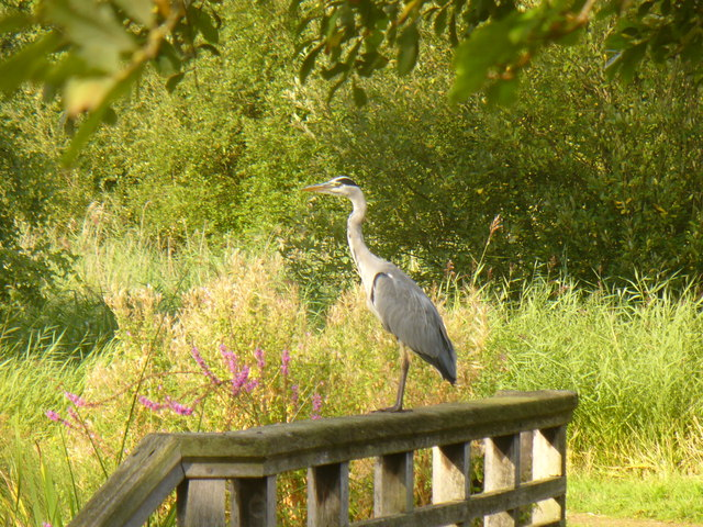 Heron, London Wetland Centre