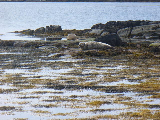 Seals at Borve