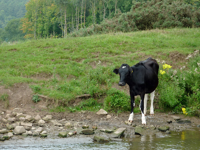 Grazing above Meaford top lock, Staffordshire