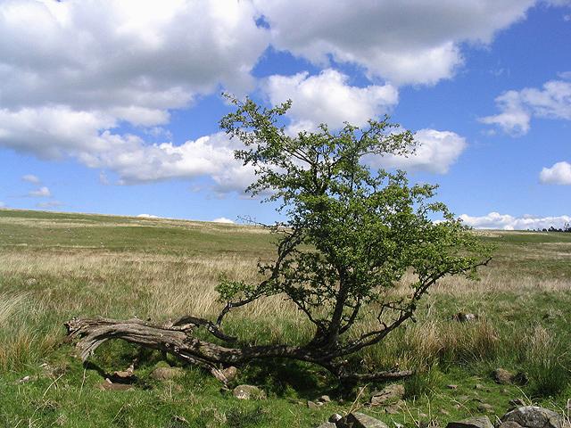 A hawthorn tree on Watchman Moor