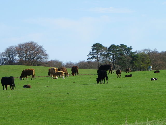 Cattle near Clappers