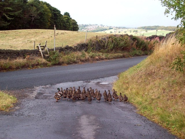 A Badling of Ducks