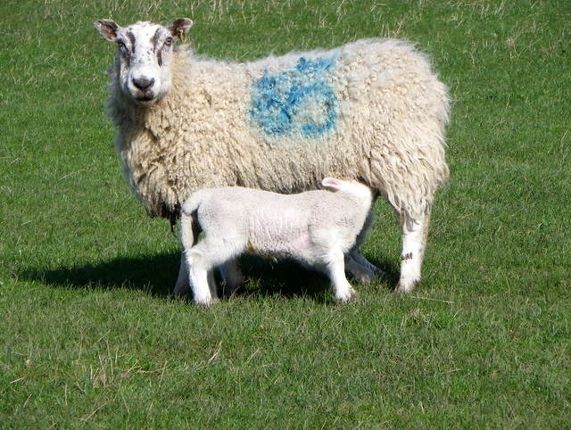 Ewe and lamb, Lamberton