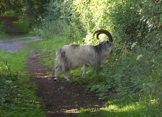 Goat above Cheddar
