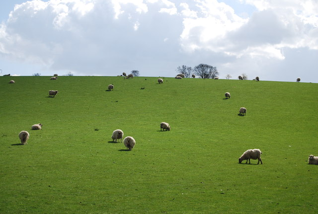 Sheep grazing near Broad Street
