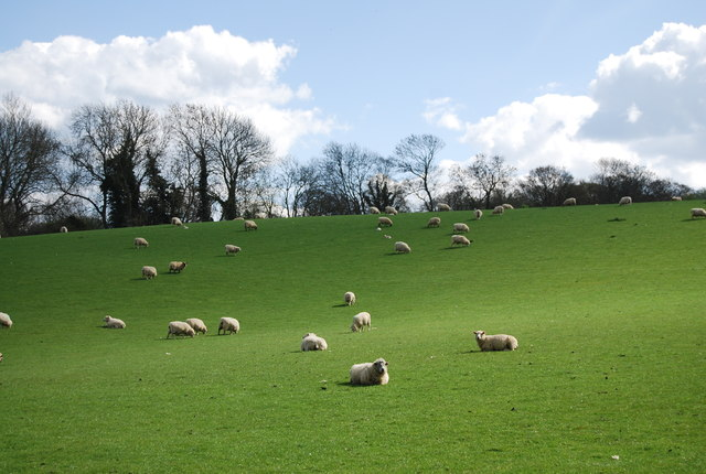 Sheep by the 1066 Country Walk