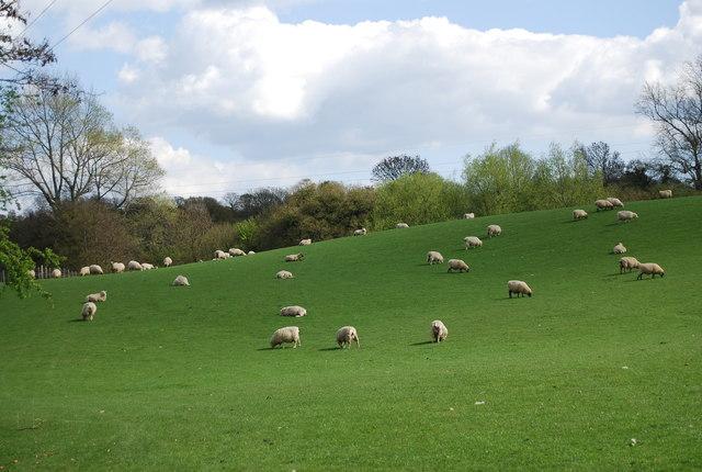 Sheep near Broad Street