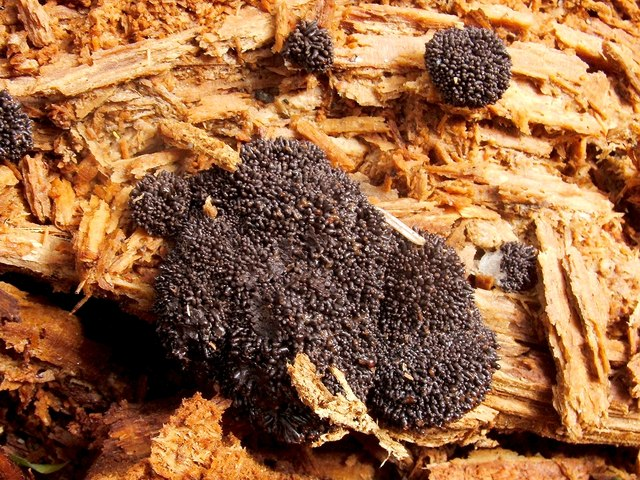 A slime mould - Tubifera ferruginosa