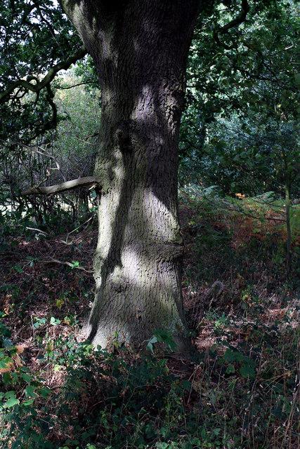 Oak Tree near Hazel Gap
