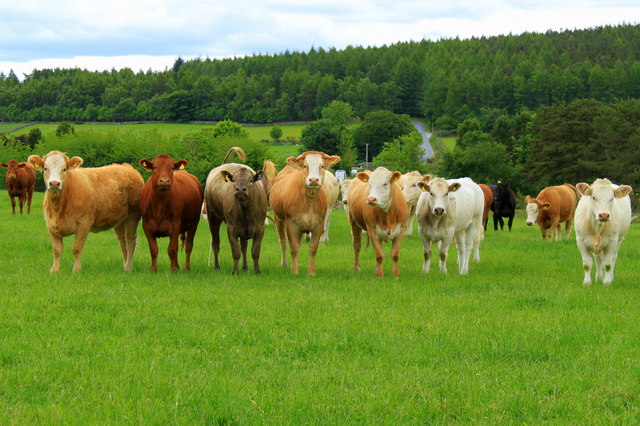 Cattle grazing at Tullos