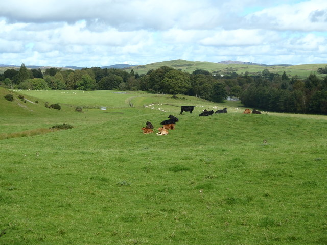 Cattle at peace near Laurieston
