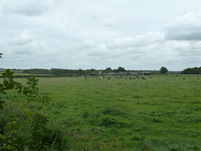Cattle on footpath to Bower Farm