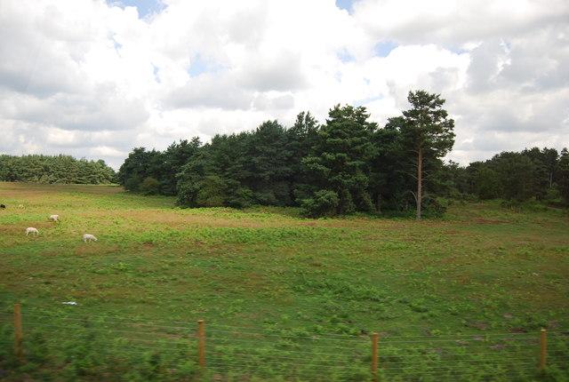 Clump of trees, Bridgham Heath
