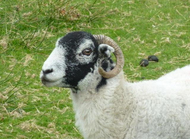 Sheep, Goathland