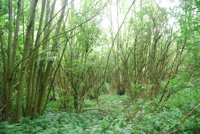 Dense vegetation, Birling Ashes