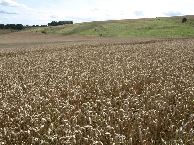 Wheat near Chirton